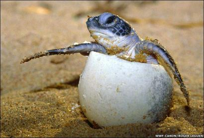 sea turtle egg hatchling